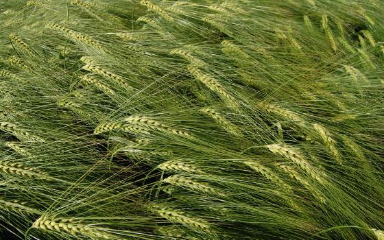 Az őszi árpa és a tritikálé őszi alaptrágyázásáról